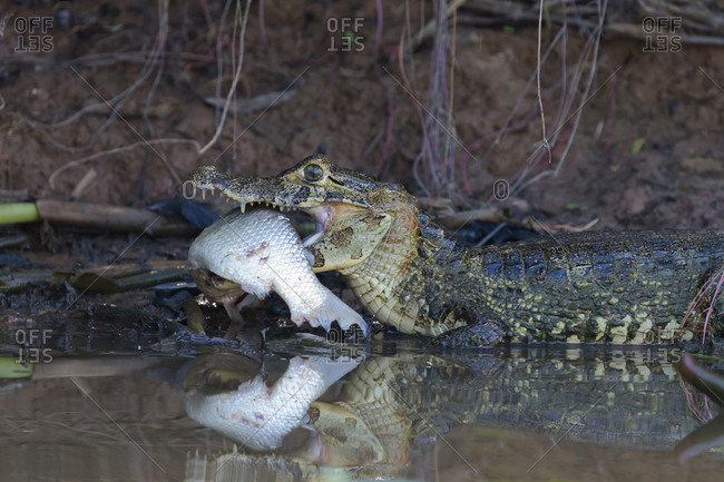 Brazil, Mato Grosso, The Pantanal, black caiman (Caiman niger) with unidentified fish.