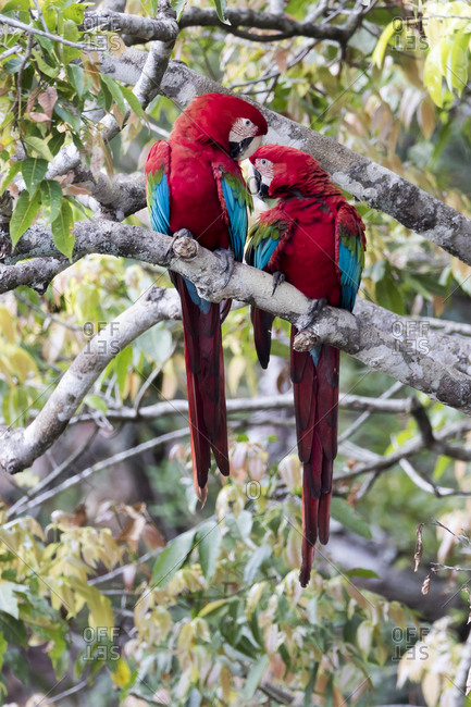 South America, Brazil, Mato Grosso do Sul, Jardim, A pair of red-and-green macaws interacting together.