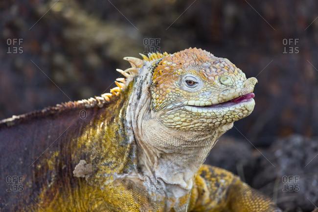 Ecuador, Galapagos Islands, North Seymour Island, land iguana (Conolophus subcristatus).
