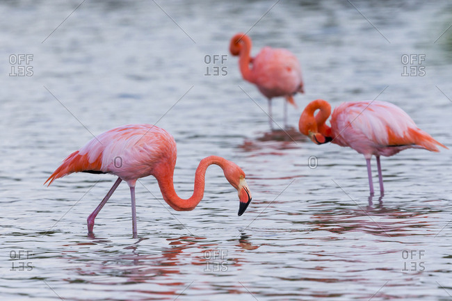 Ecuador, Galapagos Islands, Floreana, Punta Cormoran, greater flamingo (Phoenicopterus ruber) feeding.