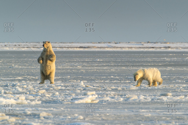 Polar Bears near Kaktovic, Alaska (Large format sizes available)