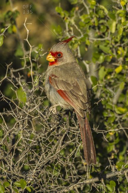 USA, Arizona, Sonoran Desert. Pyrrhuloxia bird close-up.