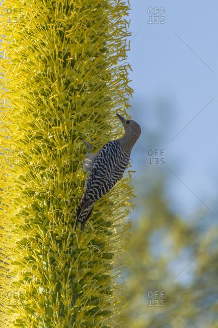 USA, Arizona, Sonoran Desert. Gila woodpecker on blooming lechuguilla.