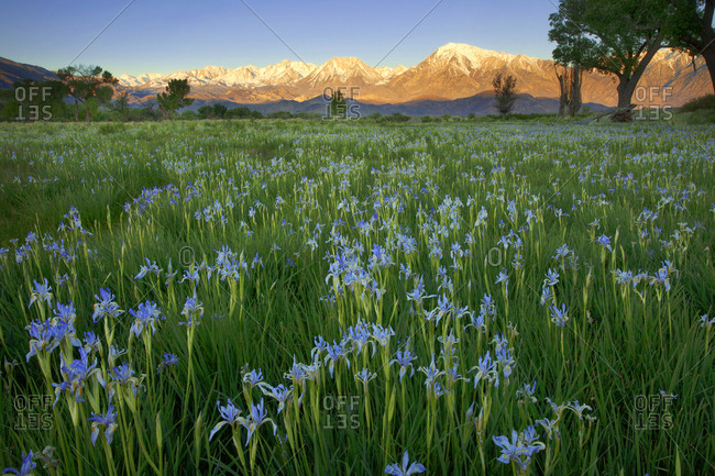 USA, California, Sierra Nevada Mountains. Wild iris blooming in Owens Valley.