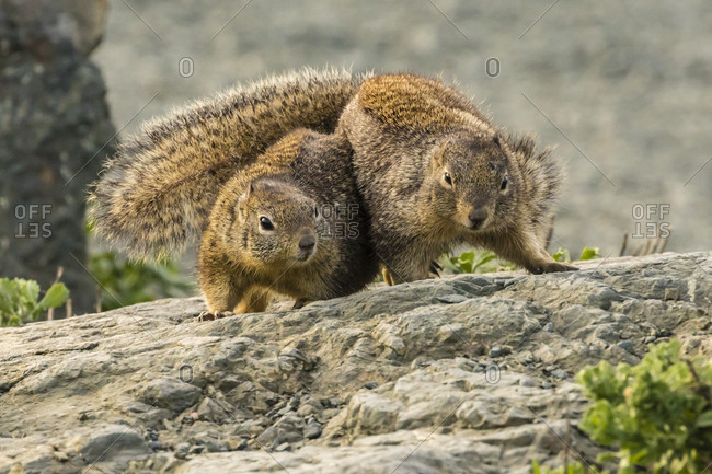 USA, California, Piedras Blancas. California ground squirrels' courtship behavior.