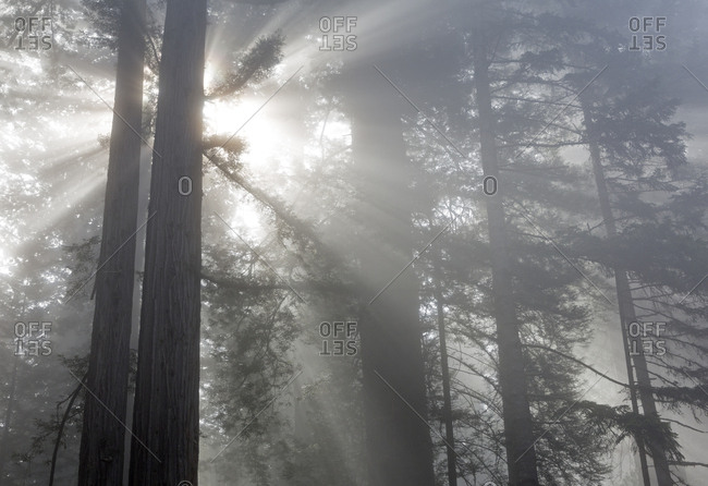 California, Del Norte Coast Redwoods State Park, redwood trees with sunbeams