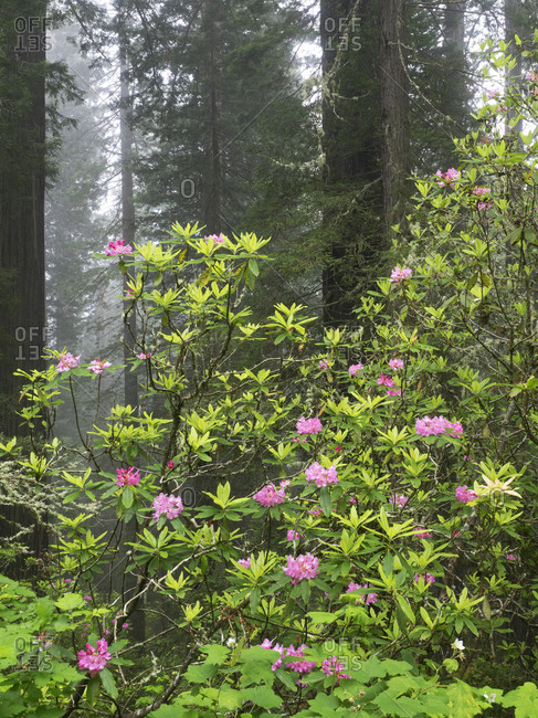 California, Del Norte Coast Redwoods State Park, redwood trees with rhododendrons