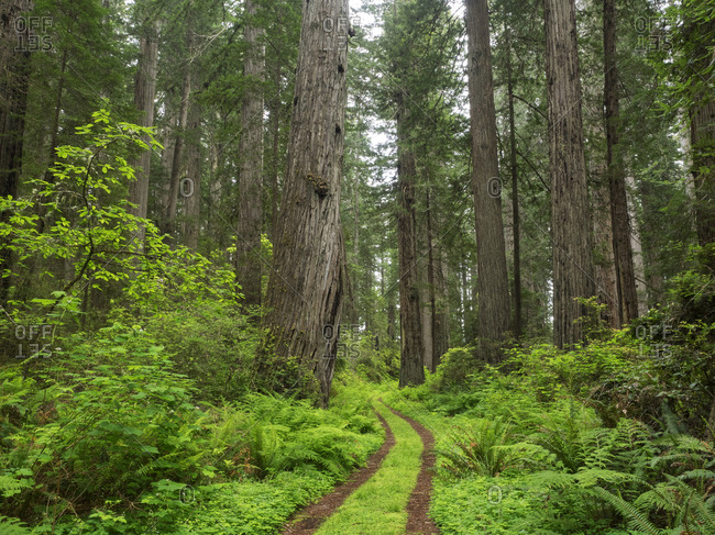 California, Del Norte Coast Redwoods State Park, Damnation Creek Trail and Redwood trees