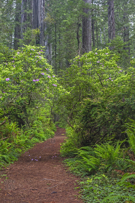 California, Del Norte Coast Redwoods State Park, Redwood trees and rhododendrons along trail