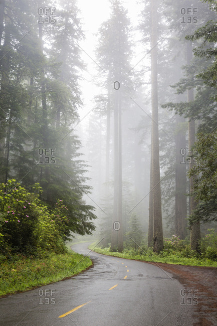 California, Redwood National Park, Lady Bird Johnson Grove, redwood trees with rhododendrons along road