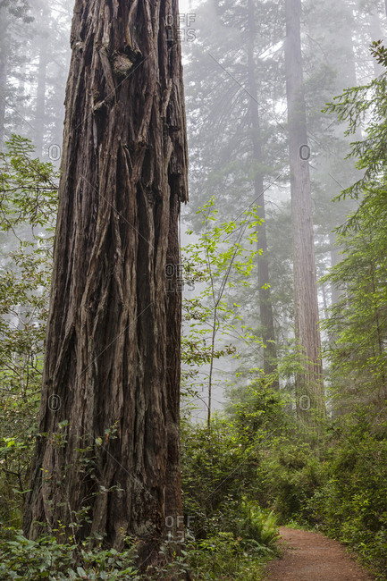 California, Redwood National Park, Lady Bird Johnson Grove, redwood trees with trail
