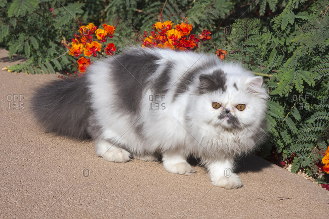 Persian Cat on garden pathway