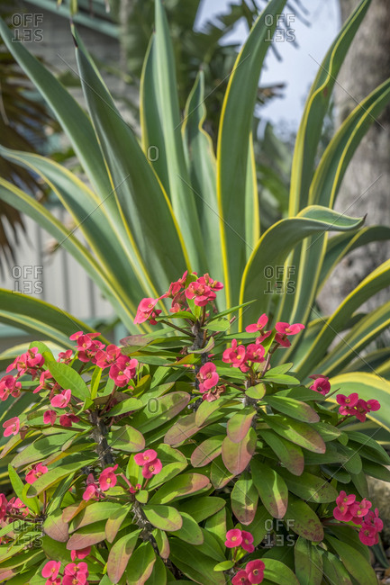 Crown of Thorns and Yucca plant, New Smyrna Beach, Florida, Usa