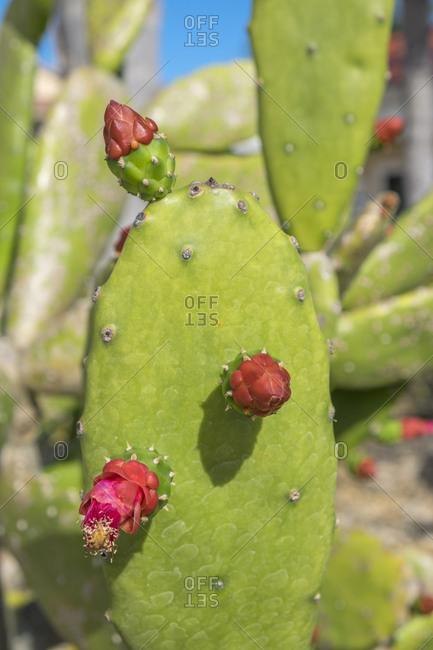 Prickly Pear cactus, New Smyrna Beach, Florida, Usa
