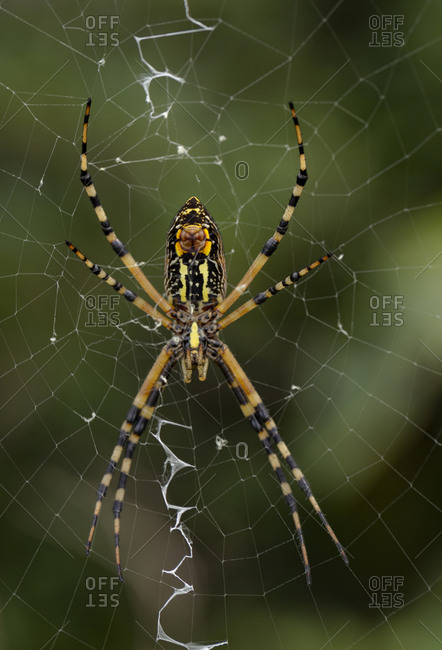 Close-up of the two palps (feelers) on the Female Black and Yellow Argiope, Argiope Aurantia, showing single band of white silk in web, Half Moon WMA, Florida, USA