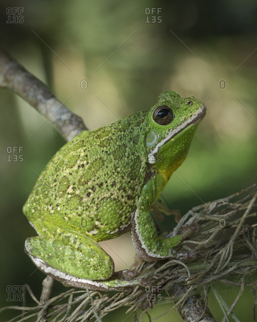 Barking tree frog on branch, Hyla gratiosa, Florida