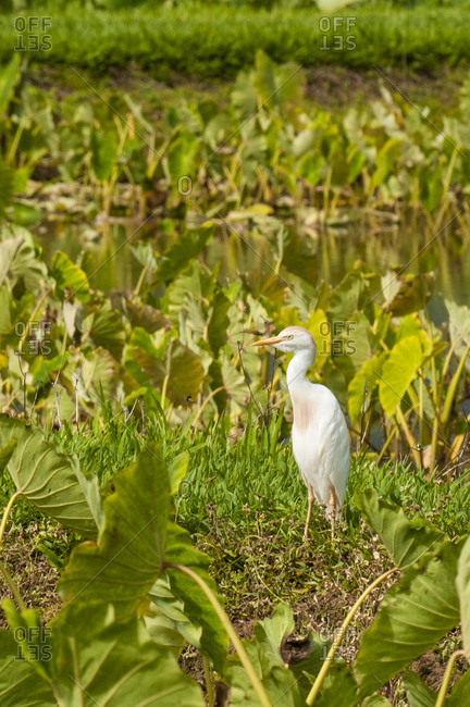 Cattle egret (Bubulcus ibis) in taro fields in Hanalei National Wildlife Refuge, Hanalei Valley, Kauai, Hawaii.