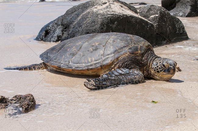A green sea turtle (Chelonia mydas) on Laniakea Beach, North Shore, Oahu, Hawaii.