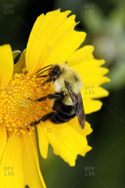 Carpenter Bee collecting nectar, Kentucky