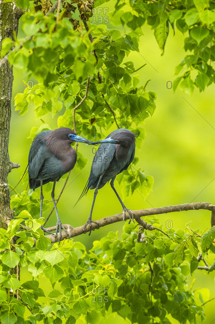 USA, Louisiana, Jefferson Island. Little blue heron courtship behavior.