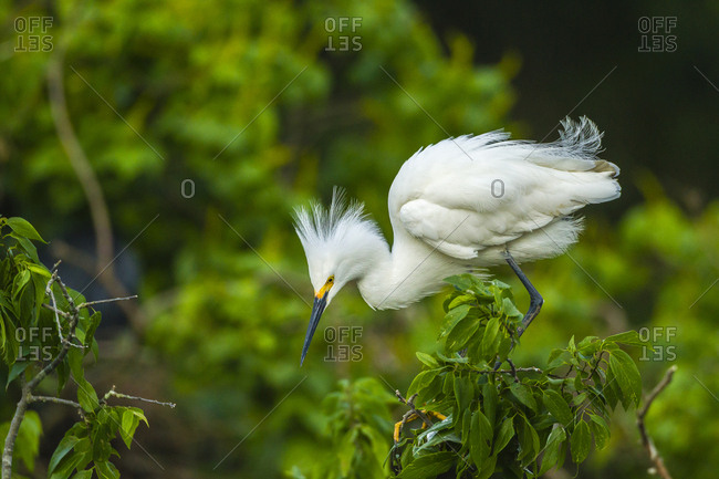 USA, Louisiana, Jefferson Island. Snowy egret on limb.