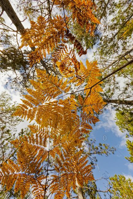 Upward view through ferns in pine forest, Upper Peninsula of Michigan.