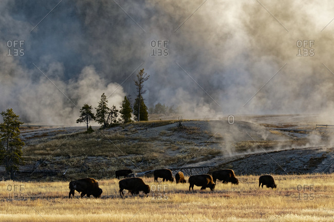 Herd of Bison near Old Faithful Geyser Upper Geyser Basin, Yellowstone National Park (Montana, Wyoming)