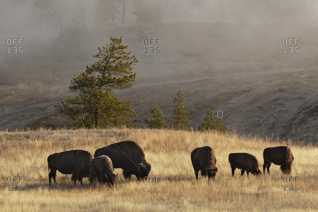 Herd Of Bison Near Old Faithful Geyser Upper Geyser Basin