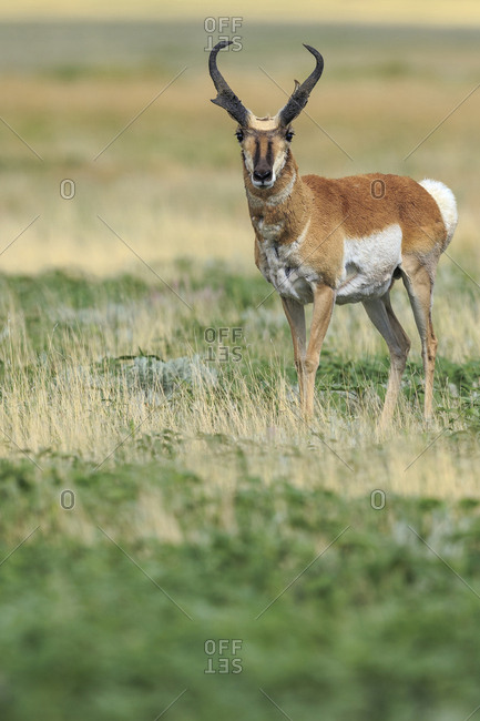 Prong buck, Pronghorn antelope, Antilocapra americana, grasslands, New Mexico, wild
