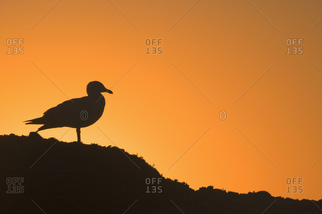USA, Oregon, Bandon. Seagull silhouette at sunset.