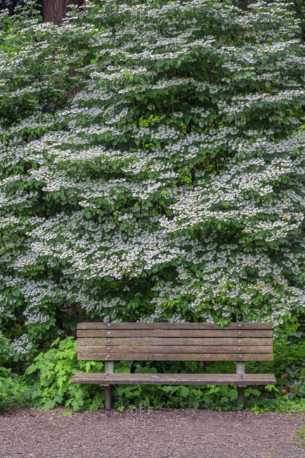 USA, Oregon, Portland, Crystal Springs Rhododendron Garden, White blossoms of viburnum in bloom and park bench.