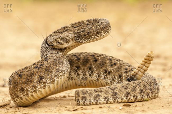 USA, Texas, Hidalgo County. Western diamondback rattlesnake coiled to strike.