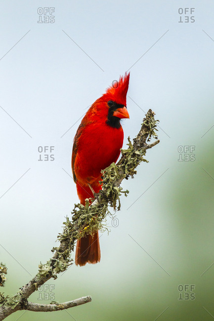 USA, Texas, Hidalgo County. Male cardinal on limb.
