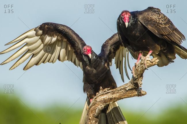 USA, Texas, Hidalgo County. Close-up of two turkey vultures on limb.