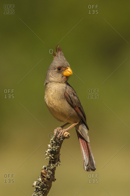 USA, Texas, Hidalgo County. Female Pyrrhuloxia on limb.