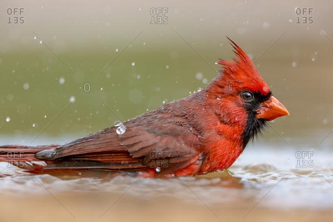 USA, Texas, Gatesville, Santa Clara Ranch. Male northern cardinal bathing.