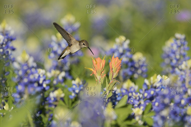 Black-chinned Hummingbird (Archilochus alexandri), adult female feeding on blooming Prairie Paintbrush (Castilleja Purpurea var. lindheimeri) among Texas Bluebonnet (Lupinus texensis),