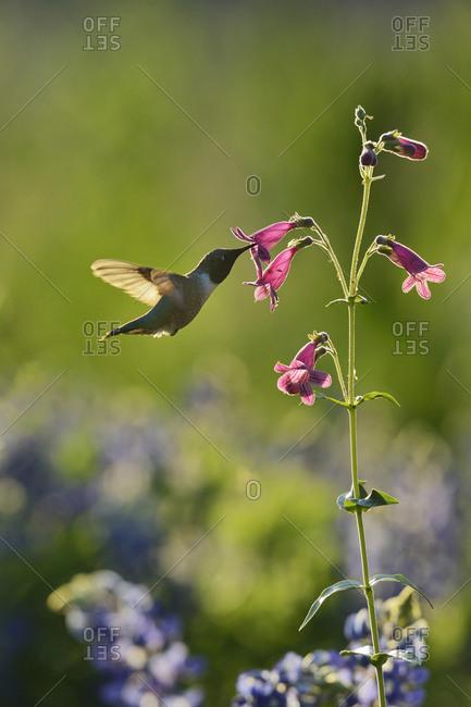 Black-chinned Hummingbird (Archilochus alexandri), adult male feeding on blooming Hill Country Penstemon, Scarlet Penstemon (Penstemon triflorus), Hill Country, Texas, USA