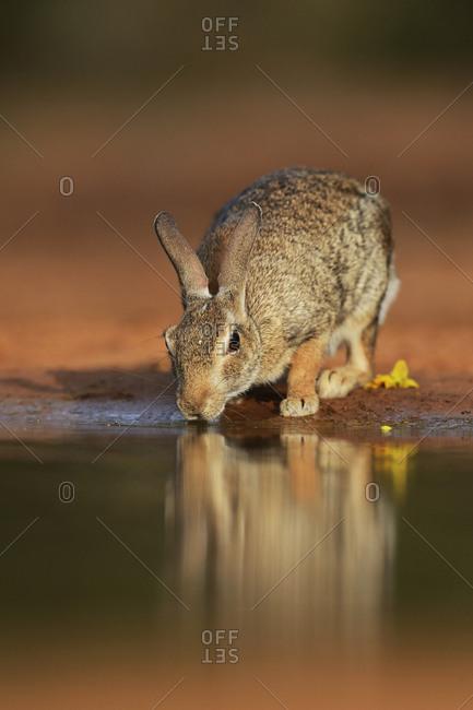 Eastern Cottontail (Sylvilagus Floridanus), adult drinking at pond, South Texas, USA