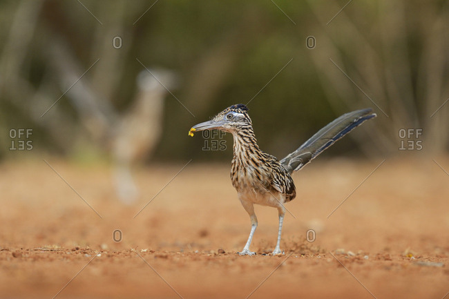 Greater Roadrunner (Geococcyx Californianus), adult with flower in beak, Rio Grande Valley, South Texas USA