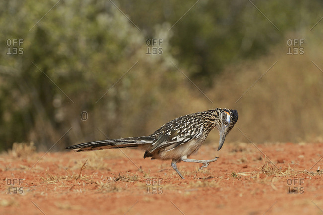 Greater Roadrunner (Geococcyx Californianus), adult preening, Rio Grande Valley, South Texas USA