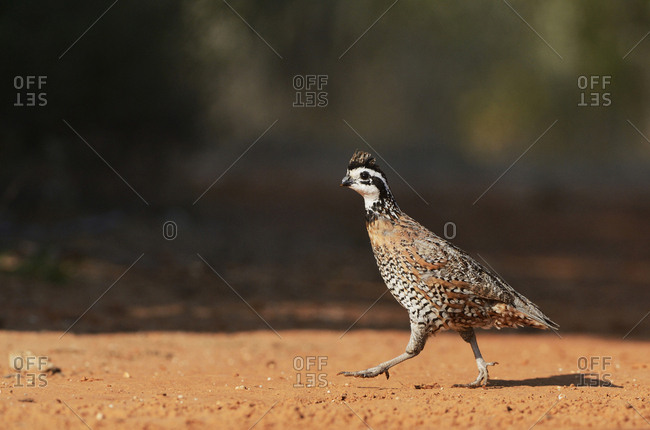 Northern Bobwhite (Colinus Virginianus), male running, Rio Grande Valley, South Texas USA