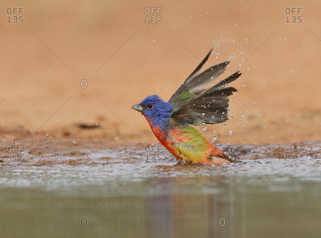 Painted Bunting (Passerina ciris), adult male bathing, Rio Grande Valley, South Texas USA