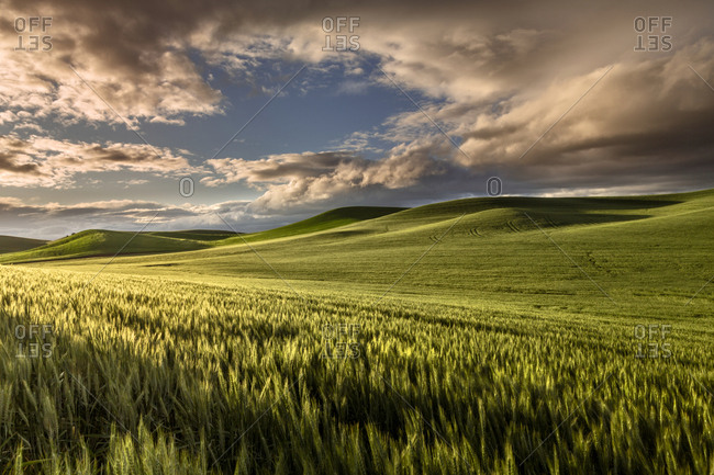 Rolling hills of wheat at sunrise, Palouse region of eastern Washington State.