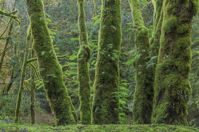 USA, Washington State, Seabeck. Moss-covered bigleaf maple trees and licorice ferns.