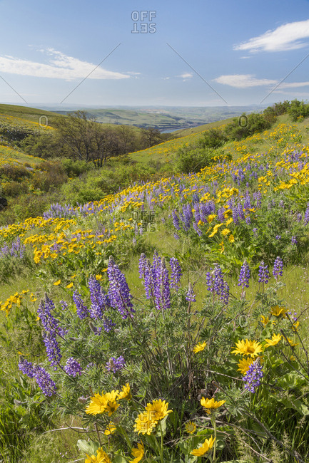 USA, Washington State, Columbia Hills State Park. Landscape of hills with wildflowers.