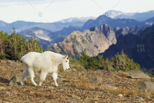 Mountain Goat, Cascade Mountains