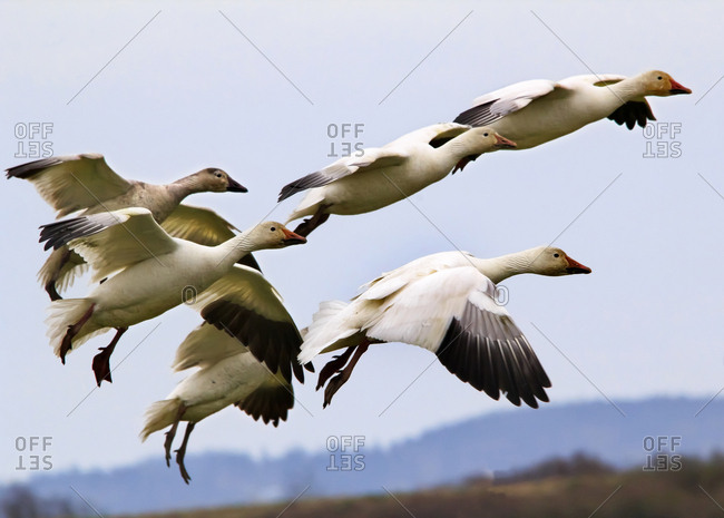 Snow Geese flying over countryside, Skagit County, Washington State
