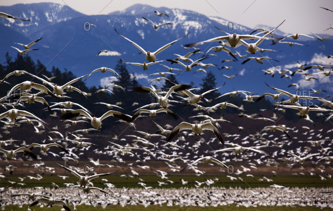 Thousands of Snow Geese flying, Skagit County, Washington