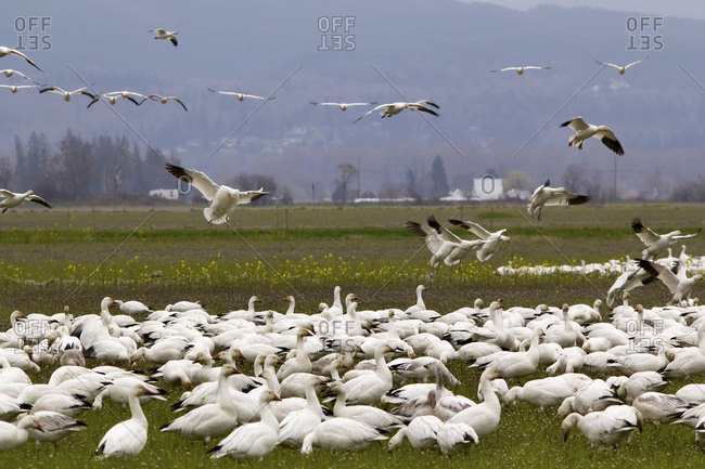 Snow Geese flock. Flying and landing, Skagit County, Washington State